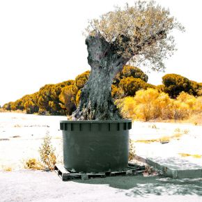 Olive tree in a pot, at morning image